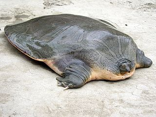 Indian narrow-headed softshell turtle species of reptile