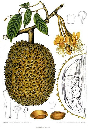 https://upload.wikimedia.org/wikipedia/commons/thumb/8/84/Durio_Zibethinus_Van_Nooten.jpg/290px-Durio_Zibethinus_Van_Nooten.jpg