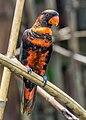 Dusky lory (Pseudeos fuscata), Gembira Loka Zoo, Yogyakarta, 2015-03-15 02.jpg