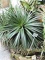 Dyckia hebdingii - Botanischer Garten München-Nymphenburg - DSC07935.JPG