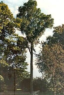 <i>Ulmus</i> Fastigiata Glabra Elm cultivar