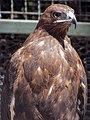 Eagle عقاب 19.jpg