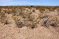 East of the Black Range - Flickr - aspidoscelis (3).jpg