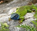 Eastern Green Lizard (Lacerta viridis) (45760004232).jpg