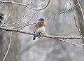 Eastern bluebird (33567455322).jpg