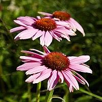 Echinacea purpurea-IMG 8538.jpg