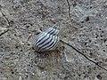 Echinolittorina ziczac.jpg