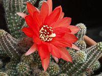 Echinopsis chamaecereus (1).jpg