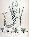 Echinosperum lappula — Flora Batava — Volume v14.jpg