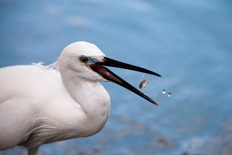 File:Egretta garzetta, little egret - Lumpini Park - Bangkok (12396151045).jpg