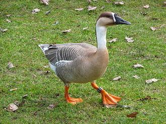 Anser (bird) - Image: Einzelne Schwanengans
