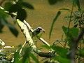 Eisvogel (Alcédo atthis) bei der Fischmahlzeit.JPG