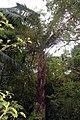Elaeis guineensis 25zz.jpg