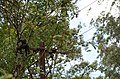 Electrocuted lion-tailed macaque infant in Valparai DSC 2568.jpg