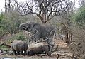 Elephant and White Rhinos at Ndlovu waterhole ... (32376336791).jpg