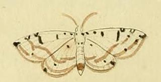 <i>Eloria diaphana</i> Species of moth