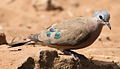 Emerald-spotted Wood Dove, Turtur chalcospilos at uMkhuze Game Reserve, kwaZulu-Natal, South Africa (15416035646).jpg