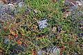 Empetrum nigrum - Regional Parks Botanic Garden, Berkeley, CA - DSC04518.JPG