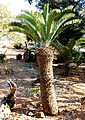Encephalartos longifolius, Waterberg.jpg