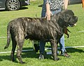 English Mastiff brindle male 3.jpg