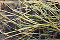 Ephedra trifurca.jpg