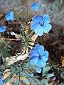 Eranthemum capense at Nedumpoil (1).jpg