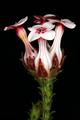 Erica ampullacea 1DS-II 3-5638.png