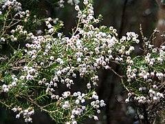 Erica arborea branch.jpg