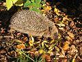 Erinaceus europaeus Oulu 20041010 02.jpg