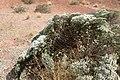 Eriogonum corymbosum kz17.jpg