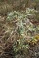 Eryngium campestre, Apiaceae 01.jpg