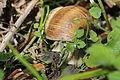 Escargot - Helix pomatia (13801284214).jpg