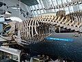 Eubalaena glacialis.001 - Natural History Museum of London.JPG