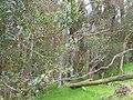 Eucalyptus globulus (Blue Gum) Crater Rd., Maui May 20, 2016 (26539469313).jpg