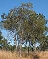 Eucalyptus platyphyla.jpg