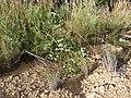 Eucalyptus polyanthemos (5369772358).jpg