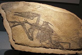 Cene - A fossil of Eudimorphodon, in the Museum of Natural Sciences in Bergamo.