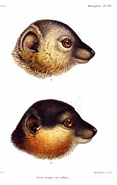 Illustration of female (top) and male (bottom) heads, seen from the right. Female is mostly gray with some rufous-brown coloration on the cheeks. Males has mostly dark gray or black muzzle, face, and crown; as well as thick and bushy rufous-brown cheeks and beard. Both have big ears and a long snout