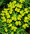 Euphorbia cyparissias - flowers.jpg