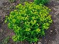 Euphorbia helioscopia 001.JPG