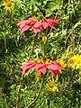 Euphorbia pulcherrima1.JPG