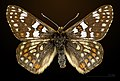 Euphydryas cynthia MHNT CUT 2013 3 28 Col de Granon male dorsal.jpg