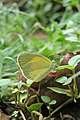 Eurema brigitta - Small Grass Yellow during Periyar butterfly survey at Sabarimala, 2014 (2).jpg