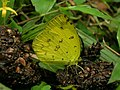 Eurema hecabe dung.jpg