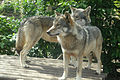 European Wolves (Canis Lupus).jpg