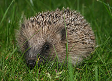 A spiky haired hedgehog sits in the grass, facing the camera.