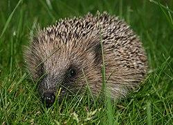 definition of hedgehog