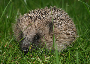 Nocturnality - Hedgehogs are mostly nocturnal.