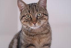 Домашня короткошерста кішка