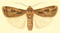 Euxoa spinifera.png